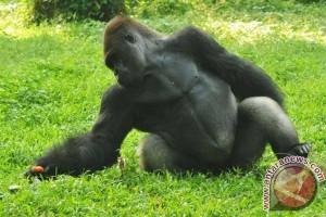 Kebun Binatang Ohio pertahankan keputusan tembak gorila Harambe