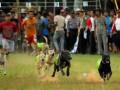 Sejumlah anjing berpacu pada lomba balap anjing di Sijunjung, Kab,Sijunjung, Sumbar, Kamis (7/6). Balap tersebut diikuti sekitar 150 anjing buru babi dalam rangka memeriahkan HUT Bhayangkara ke-66 sekaligus dijadikan agenda tahunan pariwisata. (ANTARA/Maril Gafur)