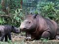 Ratu (12) seekor induk badak Sumatera (dicerorhinus sumatrensis) menemani anaknya berjenis kelamin jantan yang baru berusia beberapa hari di penangkaran semi alami Suaka Rhino Sumatera, Taman Nasional Way Kambas, Lampung, Senin (25/6). Setelah penantian selama 124 tahun akhirnya Ratu badak Sumatera bercula dua, melahirkan seekor anak pada Sabtu (23/6) dini hari pukul 00.45 WIB, Peristiwa kelahiran badak dalam penangkaran tersebut merupakan yang pertama terjadi di Indonesia. (FOTO ANTARA/M Agung Rajasa)