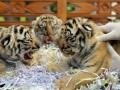 Tiga anak Harimau Benggala yang baru berumur 2 minggu mendapat perawatan dari tim dokter di Bali Zoo Park, Singapadu, Gianyar, Bali, Jumat (29/6). Ketiga anak harimau putih itu merupakan keberhasilan ke-7 kalinya dalam pengembangbiakkan dari sepasang induknya, sehingga sejak tahun 2007 sebanyak 15 ekor Harimau Benggala telah berhasil dilahirkan di lembaga konservasi itu. (ANTARA/Nyoman Budhiana)