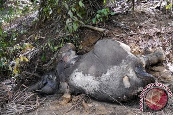 Ada bungkus pestisida di tubuh gajah mati