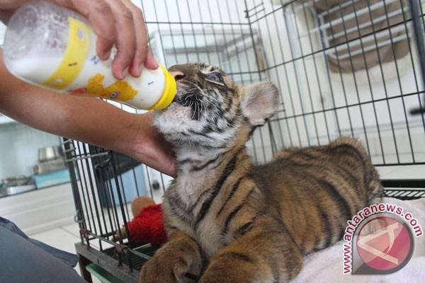 Bayi harimau sumatera diotopsi