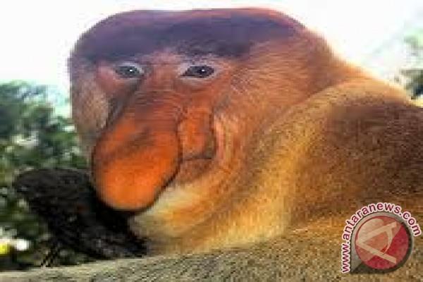 Hidung yang menjadi ciri khas monyet bekantan nasalis larvatus