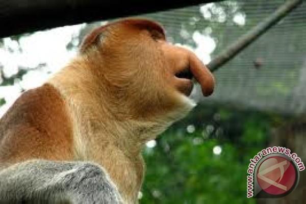 Monyet Belanda dilindungi sejak jaman Belanda