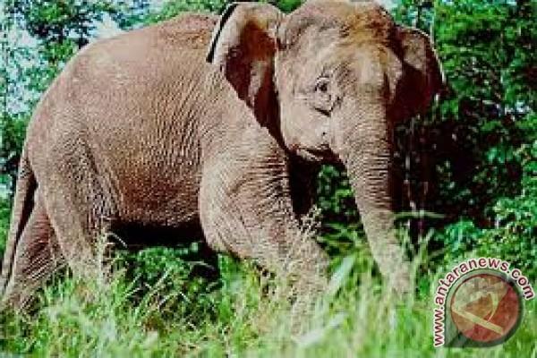Perkiraan populasi gajah dunia