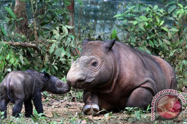 Penantian panjang kelahiran badak Sumatera