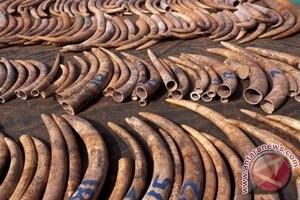 CITES: Jumlah perburuan gajah di Afrika turun