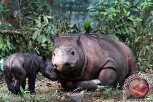 Jejak badak sumatera ditemukan di Kalimantan
