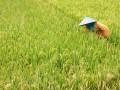 Seorang petani memeriksa tanaman padi di Jalan Sipelem, Tegal, Jateng, Kamis (19/7). Pemerinta Kota Tegal meraih penghargaan Peningkatan Produksi Beras Nasional (P2BN), sebagai bentuk apresiasi pemerintah pusat atas keberhasilan daerah - daerah yang mampu meningkatkan jumlah produksi beras di atas 5 persen. (FOTO ANTARA/Oky Lukmansyah)