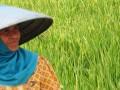 Seorang petani berdiri samping tanaman padi di Jalan Sipelem,  Tegal, Jateng, Kamis (19/7). Pemerinta Kota Tegal meraih penghargaan Peningkatan Produksi Beras Nasional (P2BN), sebagai bentuk apresiasi pemerintah pusat atas keberhasilan daerah - daerah yang mampu meningkatkan jumlah produksi beras di atas 5 persen. (FOTO ANTARA/Oky Lukmansyah)