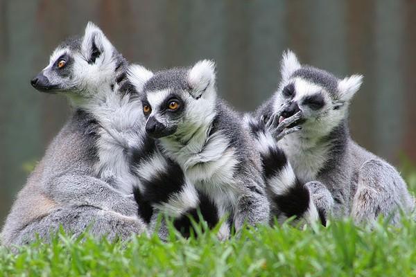Madagaskar bangun taman lemur terbesar