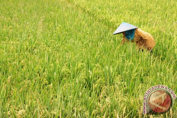 Pemkab Nagan Raya fokus tanaman padi
