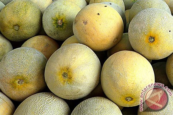 Petani melon di Kulon Progo untung besar