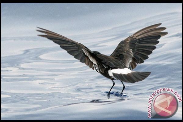 Burung laut Petrel kenali keluarga lewat bau