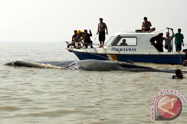 Paus terdampar berhasil dilepas di perairan dalam