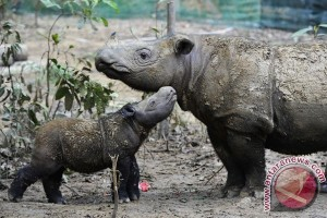 Badak betina lahir di Taman Nasional Way Kambas