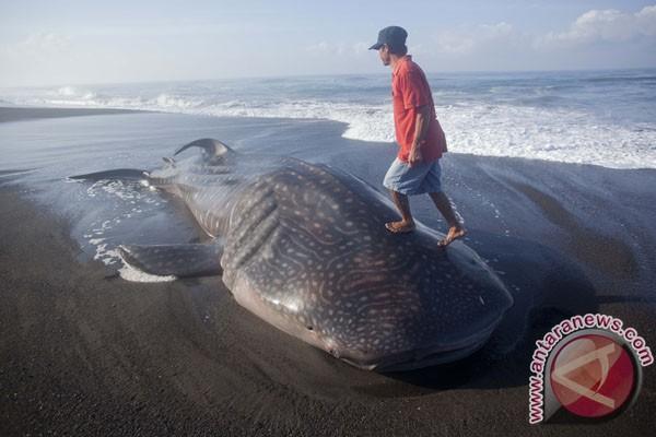 Hiu besar terdampar di Pantai Dulupi, Gorontalo