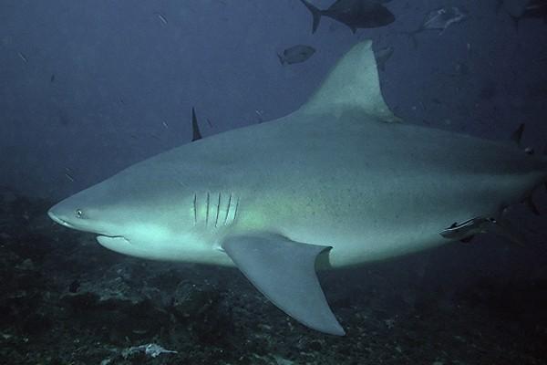 Prancis buru hiu setelah serangan di Reunion