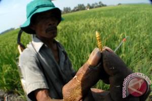 Walang Sangit serang ratusan hektare tanaman padi di Lebak