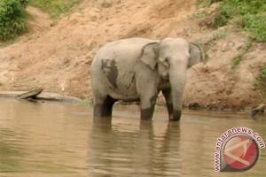 HTI ancam kepunahan gajah kerdil Kalimantan