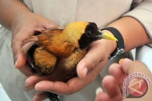 Pemerintah Papua diminta lestarikan burung cenderawasih