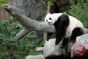 Panda raksasa lahirkan bayi kembar di Atlanta