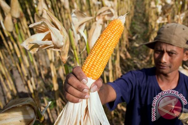 Harga jagung di Lampung Selatan bertahan tinggi