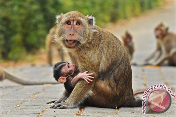 Stop beri makan monyet ekor panjang