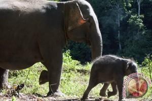 Gajah sumatera di Bengkulu diperkirakan tersisa 70 ekor