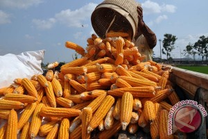 Indonesia ekspor jagung 400 ribu ton