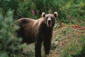 Seekor beruang mengganas terkam warga Riau