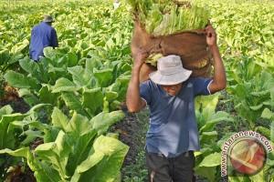 Pabrik rokok hentikan pembelian tembakau di Bojonegoro