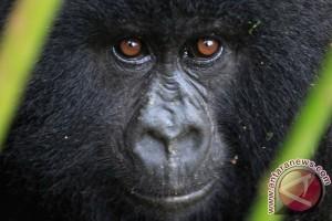 Rwanda, Uganda dan Kongo luncurkan sensus gorila