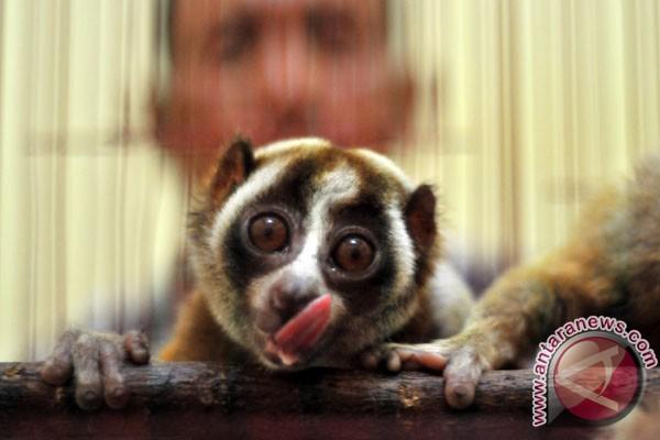 Tiga spesies baru Kukang ditemukan di Kalimantan