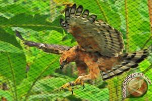 Pusat Konservasi Elang Kamojang lestarikan populasi elang jawa