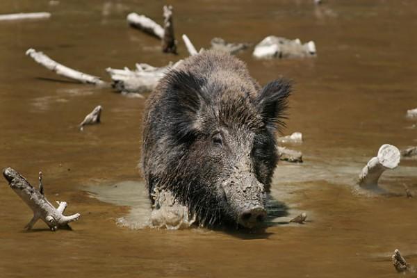 Wisata buru babi di Kuansing