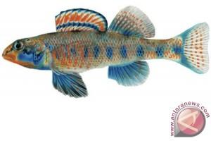 Perkenalkan... saya obama, ikan jenis baru