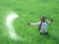 Seorang petani menyemprotkan pestisida pada tanaman padi di areal sawah desa Tugu, Kec. Sliyeg, Indramayu, Jawa Barat, Jumat (15/2). Penggunaan pestisida berbahan kimia tersebut selain membahayakan kesehatan manusia, juga menimbulkan kerusakan lingkungan akibat residu kimia yang hingga kini belum disadari para petani. (FOTO ANTARA/Dedhez Anggara)