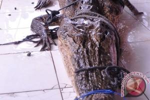 Buaya bikin resah masyarakat ditangkap di Kupang