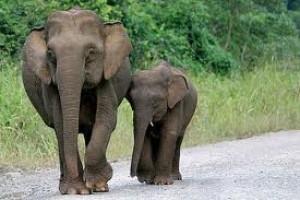Konflik gajah-manusia Kalimantan sejak 2003