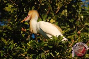 Petani Lebak lestarikan burung kuntul