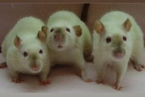 Tikus berkomunikasi dengan saling mengendus