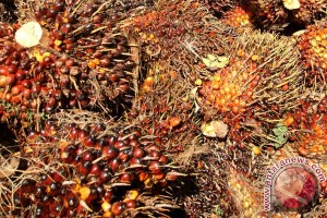 Harga TBS CPO Riau turun Rp68,75/kg