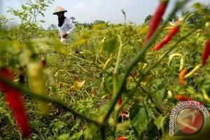 Petani cabai merah terancam gagal panen