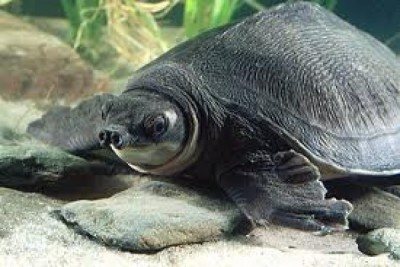 Indonesian government must protect pig-nosed turtles from extinction