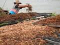 Seorang ibu, menjemur rumput laut, di Pantai Jumiang, Pamekasan, Jatim, Senin (8/4). Sejak pertengahan Februari 2013, harga rumput laut kering naik dari Rp 6.500 menjadi Rp Rp 9.300 per kg. (FOTO ANTARA/Saiful Bahri)