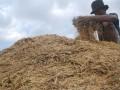 Petani memanen padi di Desa Banjarsari Kulon, Kec. Dagangan, Kab. Madiun, Jatim, Minggu (14/4). Menurut petani, harga gabah kering panen di wilayah tersebut relatif stabil di kisaran Rp 3.200 Rp 3.250/kg, sama dengan kondisi panen musim penghujan tahun lalu. (FOTO ANTARA/Siswowidodo)