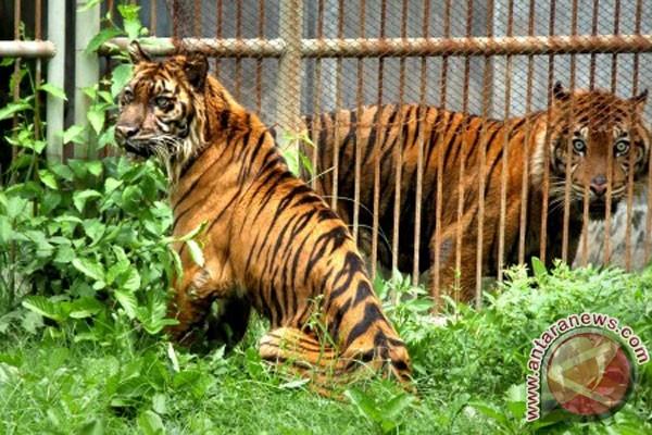 Harimau Sumatra korban jerat akhirnya mati