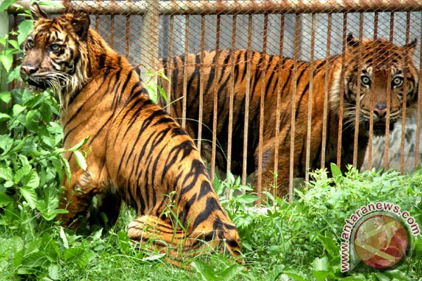 Dua Harimau Sumatera berhasil dikembalikan ke alam liar