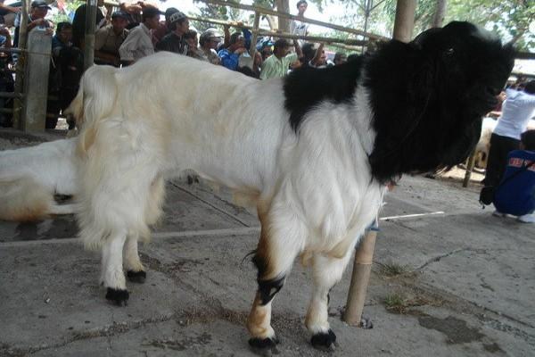 Kontes kambing PE jadi obyek wisata